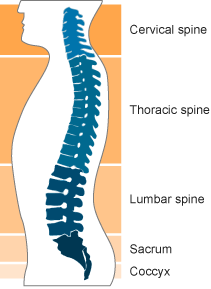 The diagram shows the 5 sections of the spine. The cervical spine is at the top of the spine, forming the neck. The thoracic spine sits underneath and attaches to rib cage. The lumber spine makes up the lower region of the back. Beneath that, the sacrum connects to the pelvis and the coccyx forms the bottom of the spine.